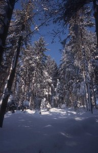 winter-forest_photo